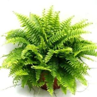 Boston Fern Nephrolepsis P17