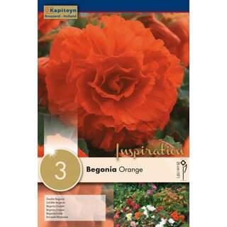 Begonia Double Orange