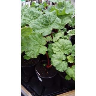 Rhubarb 3l