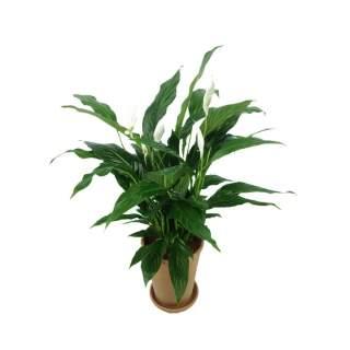 Spatyphyllum Chico