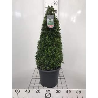 Buxus sempervirens Pyramid 60cm
