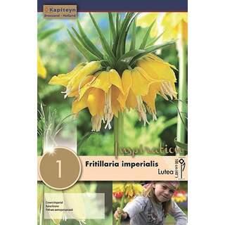 Fritillaria Imp Lutea Max