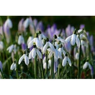 Snowdrops Galanthus niv