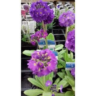 Primula Denticulata Lilac 9cm S