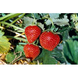 Strawberry 13cm