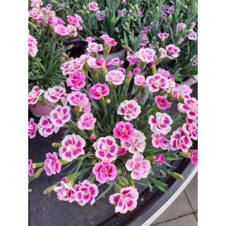 Dianthus Pink Kisses P12