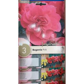 Begonia Pink Double