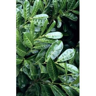 Prunus laurocerasus Rotundaifolia 2l