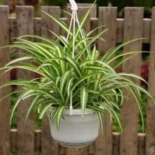 Spider Plant Hanger