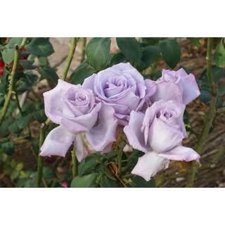 Rose HT Blue Moon
