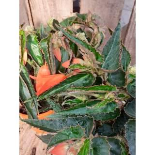 Begonia Bonfire