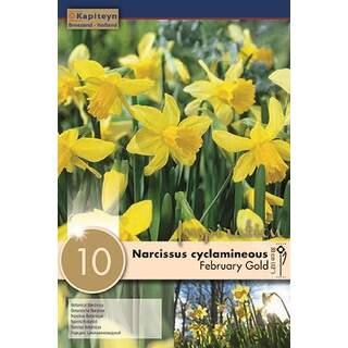 Narcissus Feb. Gold x10
