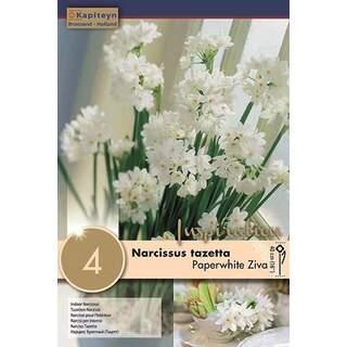 Narcissus indoor Paperwhite Ziva